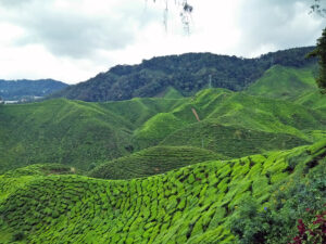 Amazing tea plantations.