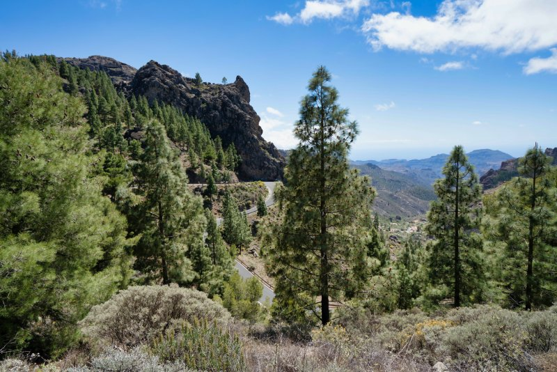 Canarian pine trees